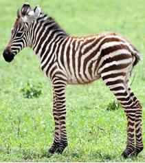 pict_zebra