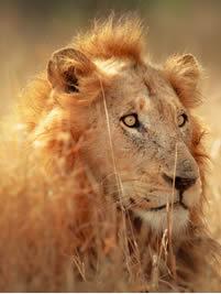 pict_lion